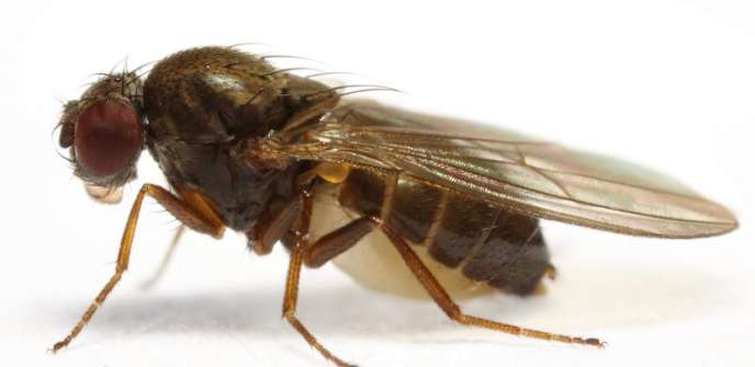 Drosophile de l'espèce « Subobscura».