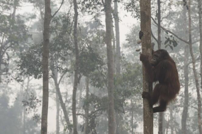 Les ourangs-outans de Bornéo sont menacés par la production d'huile de palme.