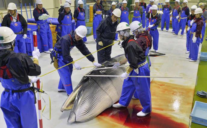 Des scientifiques contrôlent une baleine de Minke dans le port d'Ayukawa, à Ishinomaki, dans la préfecture de Miyagi, le 26 avril 2014.