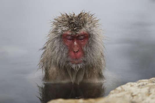 Un macaque japonais se baigne dans une source d'eau chaude dans la ville de Yamanouchi, au Japon.