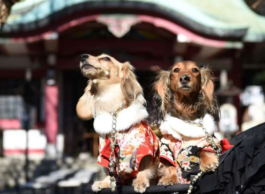 Des chiens vêtus de kimonos japonais à Tokyo, le 16 janvier.