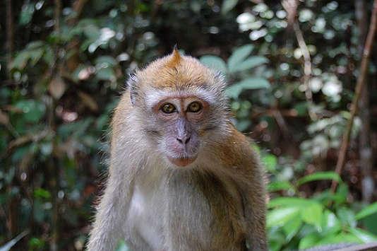 Selon une étude publiée le 18 janvier dans« Science Advances», les primates pourraient disparaitre d'ici 25 à 50 ans.