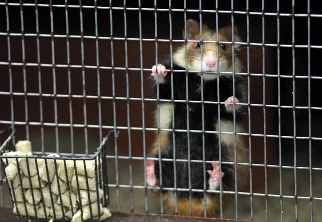 Des femelles de cet emblématique mammifère d'Alsace, soumises à un régime essentiellement maïsicole, ont mangé 95 % de leur progéniture, sous les yeux médusés de chercheurs strasbourgeois.