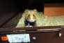 Grand hamster d'Alsace, à Hunawihr (Haut-Rhin), en 2011.