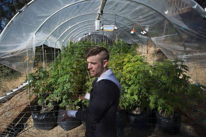 Un producteur de marijuana à Grass Valley en Californie, en novembre 2015.