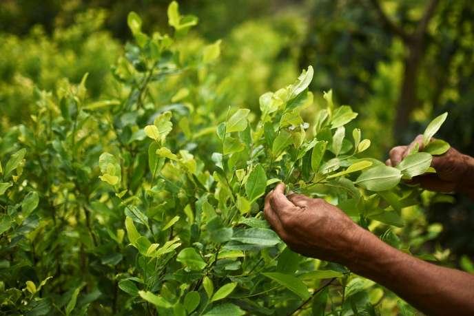 Diositeo Matitui, un cultivateur de coca, dans son champs à Policarpa, en Colombie, le 15 janvier.
