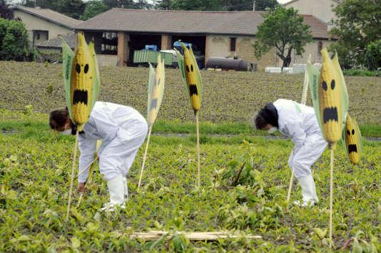 Des militants de Greenpeace et des anti-OGM déracinent des plants transgéniques dans un champ de Haute-Garonne, en 2014.