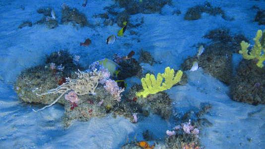 Sur le fond sablonneux, autour des éponges de couleurs variées, nagent de superbes poissons-anges royaux et poissons-anges tricolores (en noir et jaune).