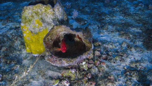 Surpris dans son enveloppe minérale,un charmant «Cephalopholis fulva», aussi appelé coné ouatalibi ou encore tanche. Chaque plongée du sous-marin (ou presque) révèle des trésors de biodiversité au fond de l'océan, au large de l'Amazone.