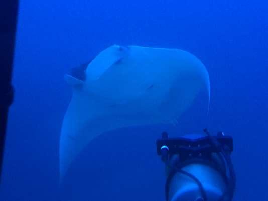 Au dessus du dôme de verre qui enveloppe nos têtes, une raie manta à l'envergure impressionnante, environ trois mètres, se livre à un gracieux ballet devant le sous-marin.