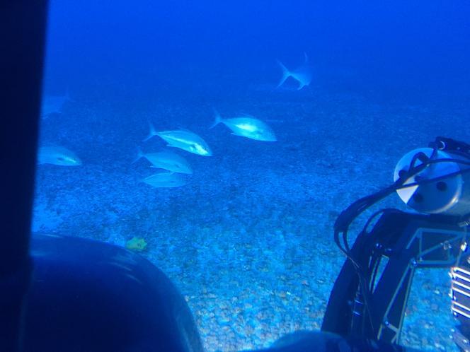 A quelque 220 km des côtes brésiliennes et de l'embouchure de l'Amazone, des JackDempsey, appelés scientifiquement«Cichlasoma octofasciatum», traversent le faisceau lumineuxdu sous-marinqui permet d'éclairer le fond.