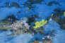Le récif corallien au large de l'Amazone.