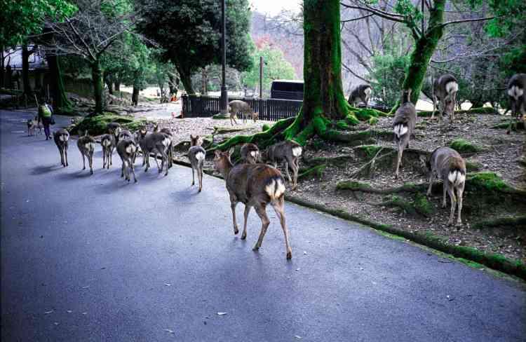 Un troupeau, dans le parc de Nara. «Les daims se déplacent souventpar groupes de cinq ou dix individus. Cette fois, ils étaient bien plus nombreux.»