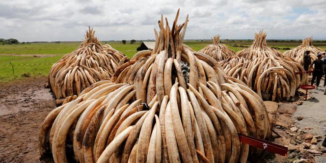 Des tonnes de défenses d'éléphant saisies au Kenya, prêtes à être brulées près de Nairobi, le 28 avril 2016.