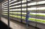 Des laitues sont cultivées sous diodesélectroluminescentes dans une salle blanche de l'usine Panasonic de Fukushima, le 30 novembre 2016.