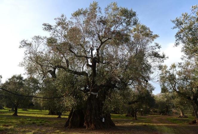 La bactérie «Xylella fastidiosa», bactérie qui pénètre dans la sève et dessèche les arbres de l'intérieur, a décimé des dizaines de milliers d'oliviers en Italie depuis 2013. Les îles Baléares sont à leur tour menacées.