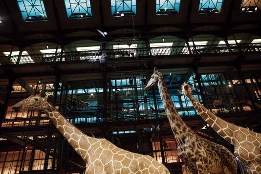 Des girafes exposées à la grande galerie de l'évolution du Muséum national d'histoire naturelle, à Paris.