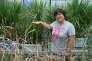 Gao Caixia, en juillet 2014, devant un pied de riz génétiquement modifié pour pousser moins haut.