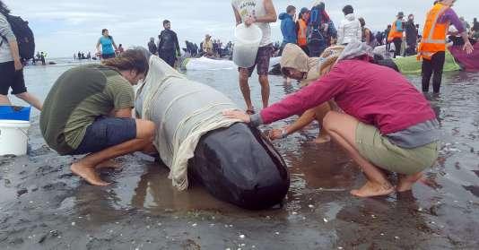 De nombreux bénévoles sont venus secourir les baleines échouées, vendredi 10 février, sur la plage de Farewell Spit.
