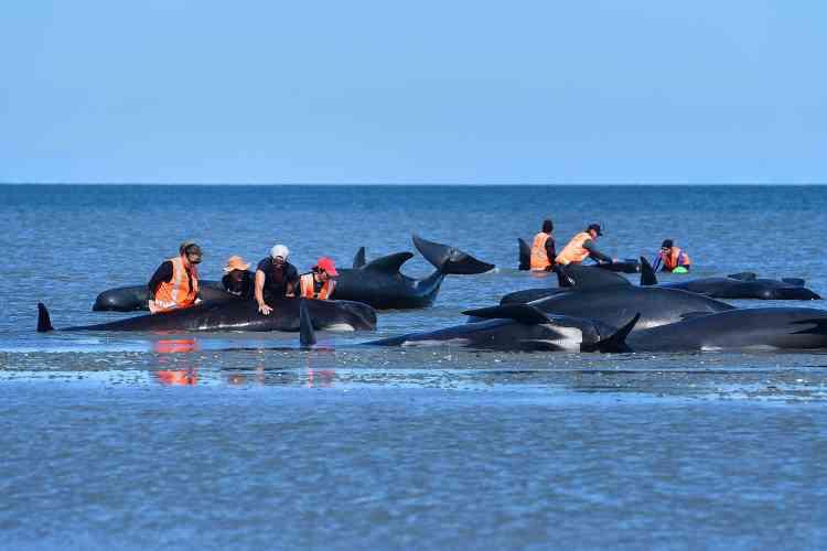 Mais la remise à flot ne garantit pas forcément la survie, car les baleines peuvent toujours revenir s'échouer. Une vingtaine des animaux sauvés après l'échouement de vendredi ont ainsi dû être euthanasiés samedi.