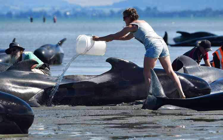 Il s'agit de baleines-pilotes,également appelées globlicéphales, l'espèce la plus répandue dans les eaux néo-zélandaises. Elles peuvent peser jusqu'à deux tonnes et mesurer jusqu'à six mètres de long.