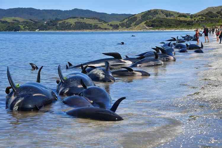 Un ranger du département de la protection de l'environnement, Mike Ogle, a lui déclaré à Radio New Zealand que les cétacés pouvaient avoir été poussés à se diriger vers les hauts-fonds par crainte des requins. « Il y a là-bas une carcasse qui porte des marques de morsures de requin », a-t-il dit. Et la présence de grands requins blancs aux alentours de Farewell Spit a été signalée.