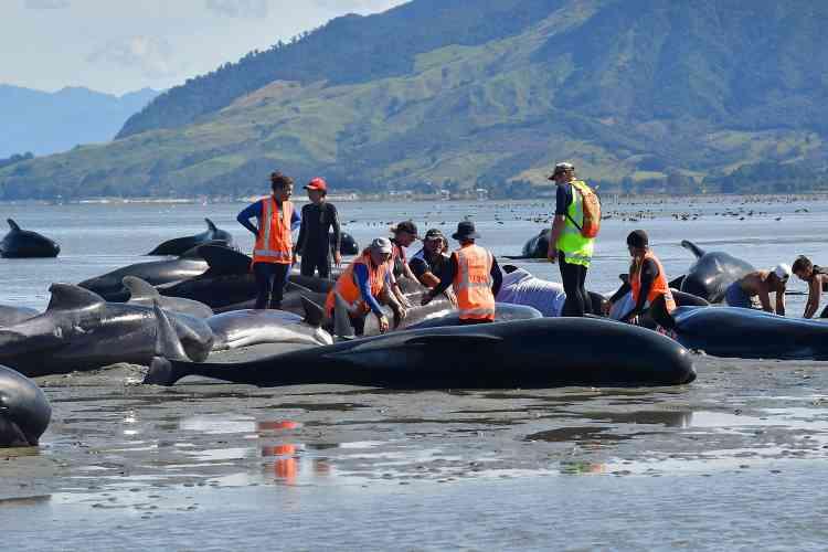 Vendredi, 416 baleines s'étaient déjà échouées à cet endroit.La plupart sont mortes, malgré les efforts des nombreux sauveteurs.