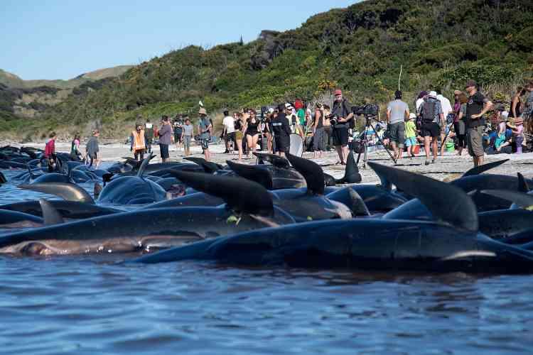 Environ 200 nouvelles baleines se sont échouées, samedi 11 février, àFarewell Spit en Nouvelle-Zélande.