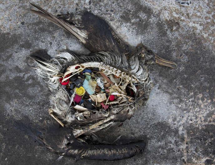 Un albatros retrouvé mort avec l'estomac rempli de plastique sur l'atoll américain de Midway, dans l'océan Pacifique en novembre 2014.
