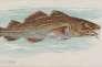 «La morue», lithogravure commerciale, 1889.