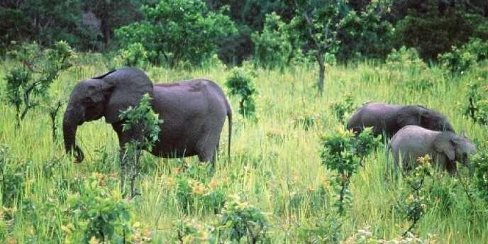 Des éléphants de forêt dans le parc de la Lopé, au Gabon, en novembre 1999.