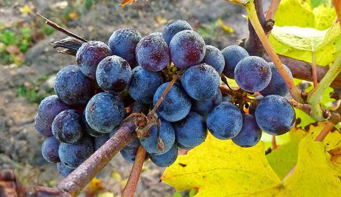 En 1992, Henri Marionnet tente un pari inédit : planter un hectare de vignes non greffées, dites « franches de pied ». Un succès.