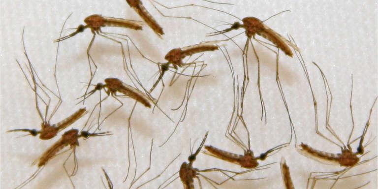 Moustique «Anopheles» qui ont servi à l'étude pour l'élaboration d'un vaccin contre le paludisme dans un laboratoire du Marylandaux Etats-Unis.