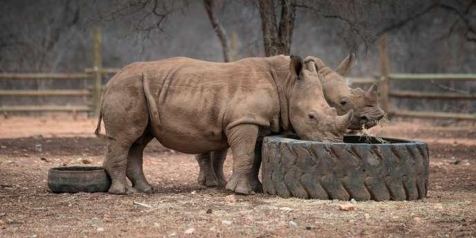 Des rhinocéros à Hoedspruit, en Afrique du Sud, en septembre 2016.