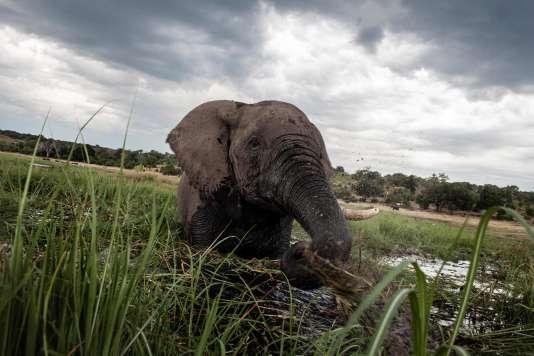 Eléphant de savane d'Afrique (Loxodonta africana) dans le parc national de Chobe, au Botswana.