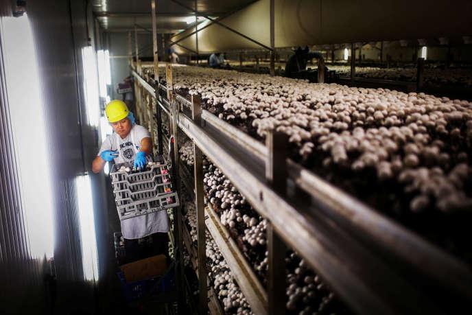 Des travailleurs étrangers cultivent des champignons dans une ferme à Leamington, en Ontario, au Canada, le 14 avril 2016.