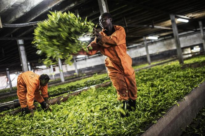 L'usine de transformation de feuilles de thé Makandi, à Thyolo, dans le sud du Malawi en avril 2016.