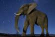 Un éléphant d'Afrique sous un ciel étoilé. Cette photo est extraite d'un reportage de Bence Mate, récompensé par un prix du World Press Photo 2016.