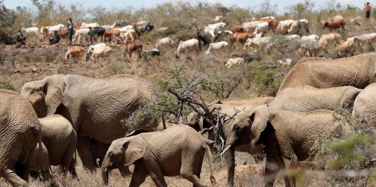 Des éleveurs Samburu ont pénétré dans la réserve Mugie au Kenya afin d'y faire s' abreuver leurs troupeaux, le 12 février 2017. Le Kenya est en proie à une importante sécheresse.