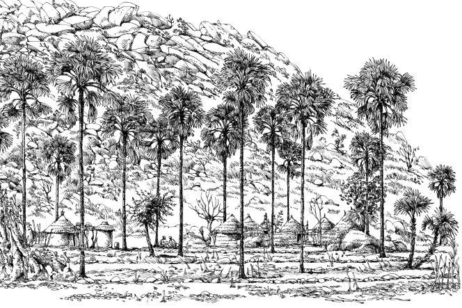Le palmier« Borassus aethiopium», village de Midjiving, au nord du Cameroun.