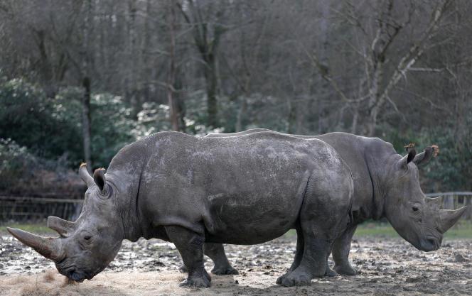 Les rhinocéros blancs Bruno et Gracie au parc de Thoiry, le 7 mars.