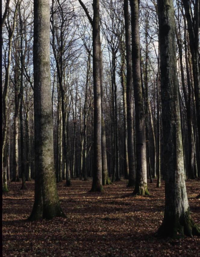 La forêt domaniale de Bercé (Sarthe), un« grand cru» aux chênes sessiles de très haute qualité.