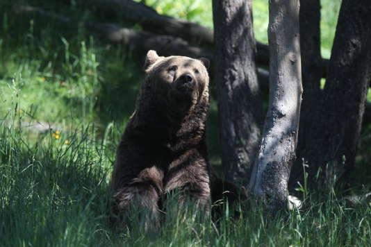 Un ours brun dans le parc animalier des Angles, dans les Pyrénées, dans lequel les animaux vivent en semi-liberté.