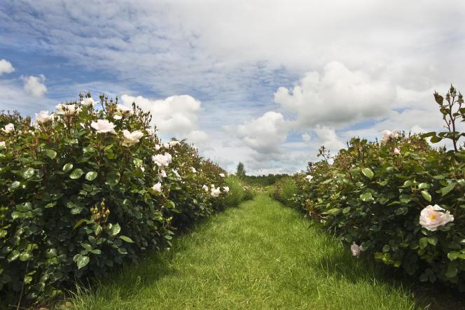 La rose « Jardin de Granville » est cultivée à Pithiviers pour la marque Parfums Christian Dior.