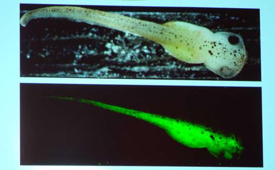 Un des écrans présentés lors de la conférence de Jennifer Doudna sur la technologie d'ingénierie génétique développée avec le crispr-cas9. Ici, comment il est possible de changer la couleur d'un tétard.