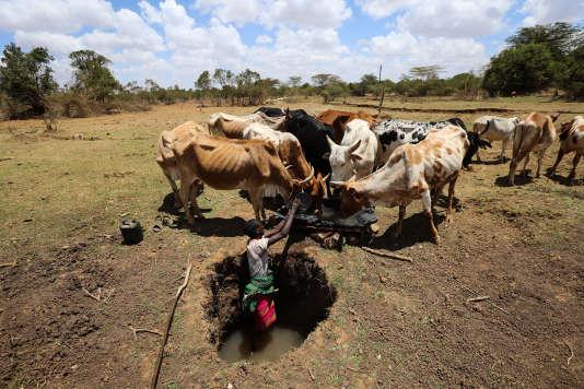Un berger tente d'abreuver son troupeau, dans le comté de Laikipia, au Kenya, le 1er mars.