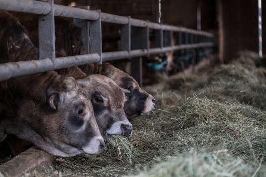 Vaches allaitantes se nourissant au foin naturel dans un hangar d'exploitation bio de la famille Peyrac au lieudit La Gratarelle, près de Cruejouls, en Aveyron, France, vendredi l3 mars 2017.