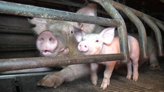Les truies sont confinées dans des stalles individuelles, où elles ne peuvent se retourner, au début de leur gestation et pendant toute la maternité.