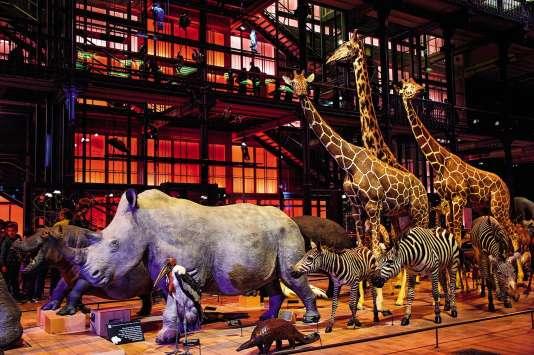 Au Muséum d'histoire naturelle, à Paris, les cornes des (vrais) rhinos empaillés sont fausses…