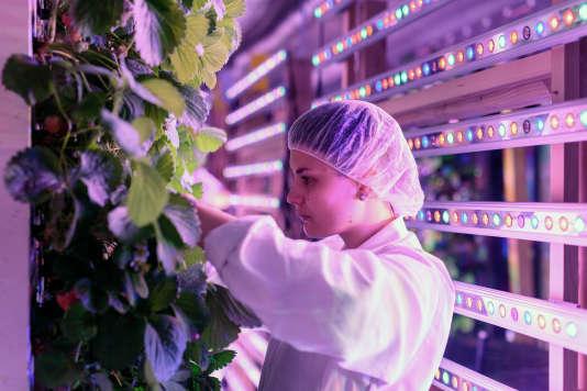 En bordure du parc de Bercy à Paris, la société Agricool cultive 3 600 fraisiers installés à la verticale, dans un conteneur de 33 m2.